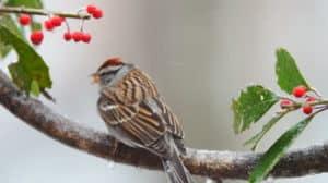 Winter sparrow