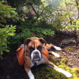 Email0Facebook0Twitter0Reddit0X Linkedin0 Stumbleupon0 Belle is a five year old boxer, all muscle and tireless.   She is a good running companion who keeps pace easily enough on three to five mile runs. […]
