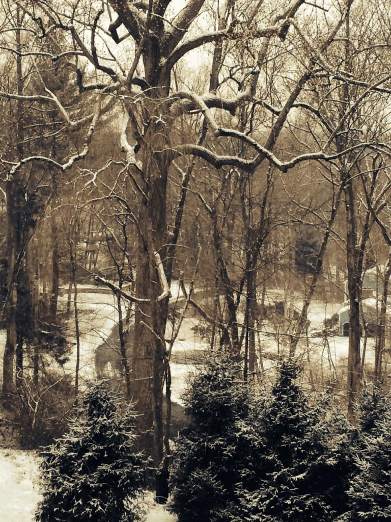 Poplar trunk with snow