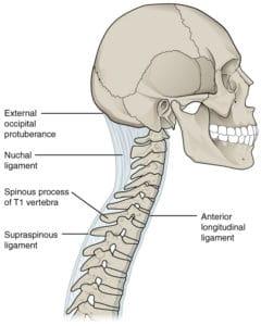 Nuchal ligament
