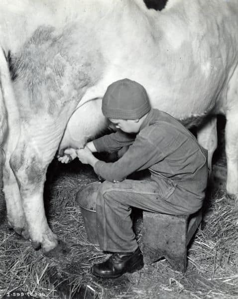 Boy milking