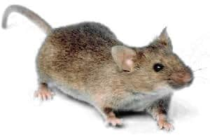 Mouse_white_background