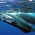 APPLE PODCAST SPOTIFY PODCAST The sperm whale takes 40 years before it masters the global oceans, traveling with its mother for years and then joining a pod of wandering bulls. […]